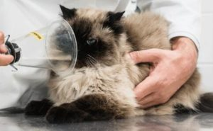 what causes of cat asthma